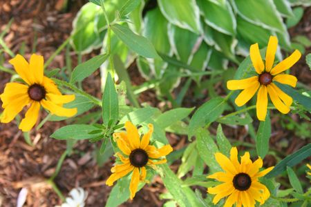 blackeyed_susans