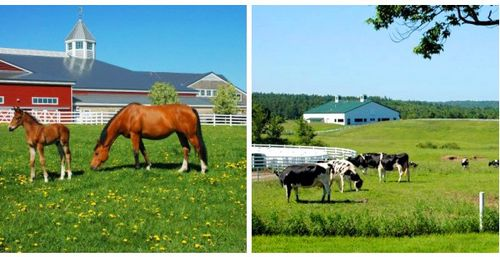 Pineland_horses_cows