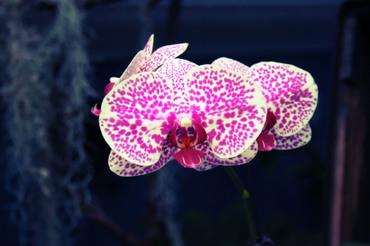 Spot_orchid_curve