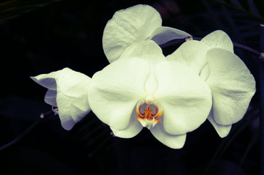 White_orchid_curve